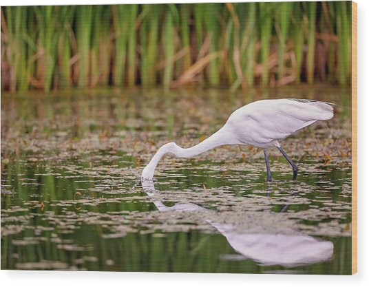 White, Great Egret Wood Print