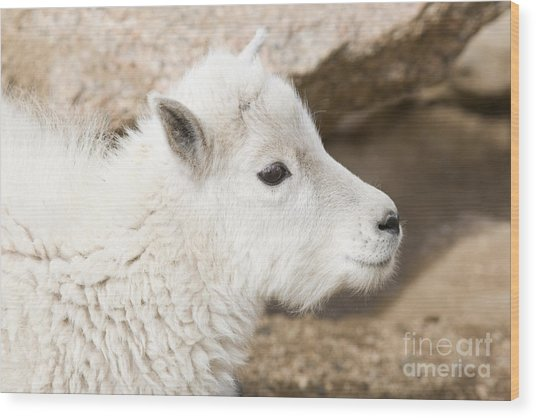 Baby Mountain Goats On Mount Evans Wood Print