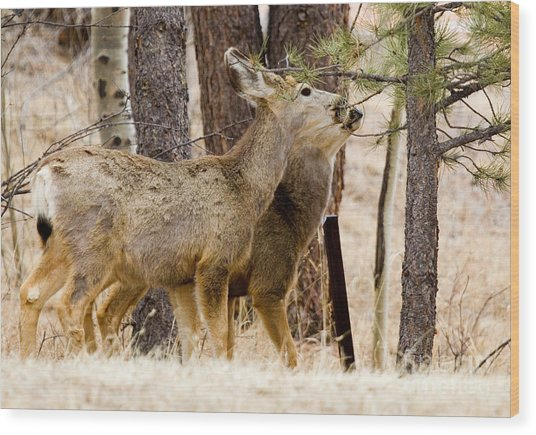 Mule Deer In The Pike National Forest Of Colorado Wood Print