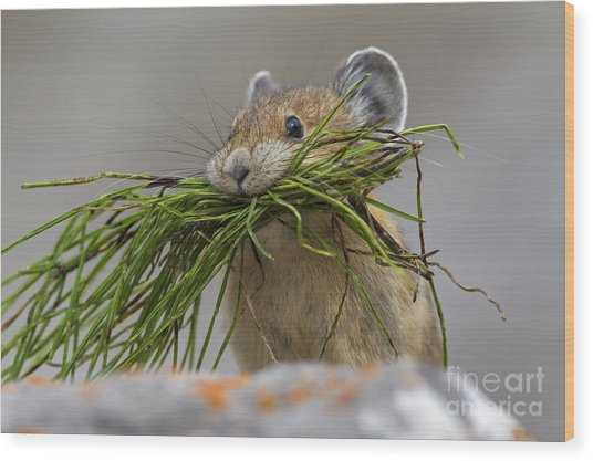 Pika With A Mouthful  Wood Print
