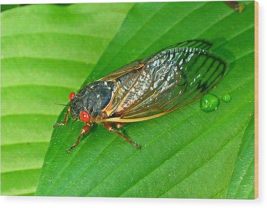 17 Year Periodical Cicada Wood Print