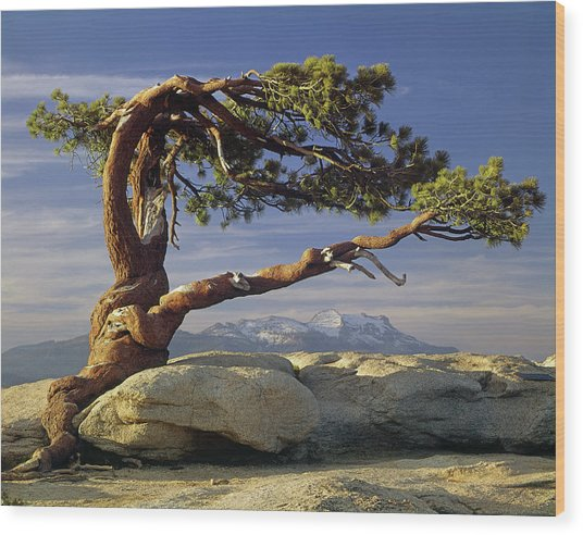 1m6701 Historic Jeffrey Pine Sentinel Dome Yosemite Wood Print