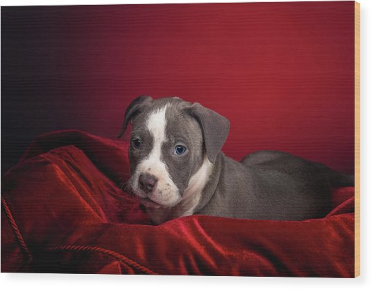 American Pitbull Puppy Wood Print