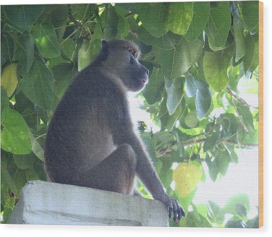 Baboon Sits Guard  Wood Print