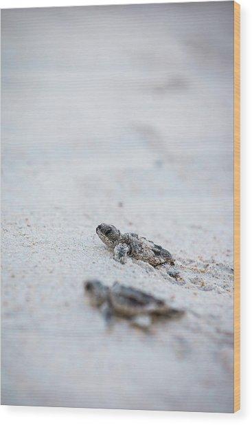 Baby Sea Turtles Wood Print