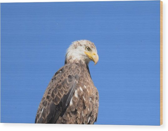 Bald Eagle Juvenile Perched Wood Print