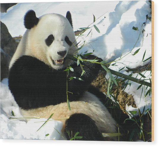 Bao Bao Sittin' In The Snow Taking A Bite Out Of Bamboo1 Wood Print