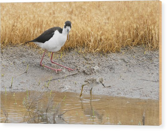 Black Necked Stilt With Chick Wood Print by Dennis Hammer