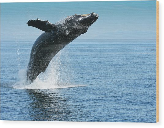 Breaching Humpback Whales Happy-1 Wood Print