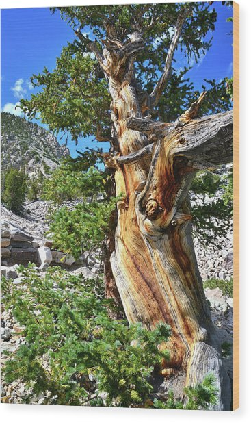 Bristlecone Loop Trail Wood Print