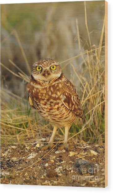 Burrowing Owl Wood Print by Dennis Hammer