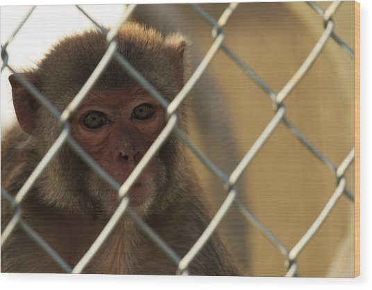 Caged Monkey Wood Print