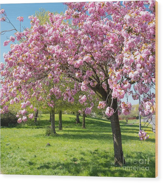 Cherry Blossom Tree Wood Print