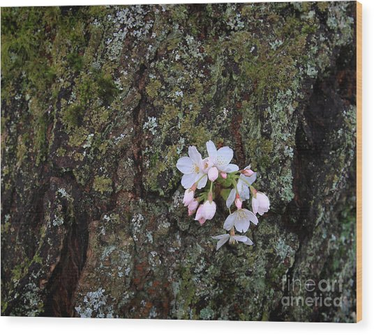 Cherry Blossoms Wood Print
