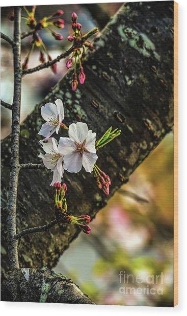 Cherry Tree Blossoms Wood Print by Elijah Knight