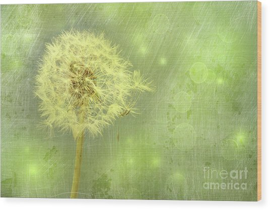 Closeup Of Dandelion With Seeds Wood Print