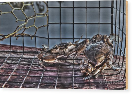 2 Crabs In Trap Wood Print