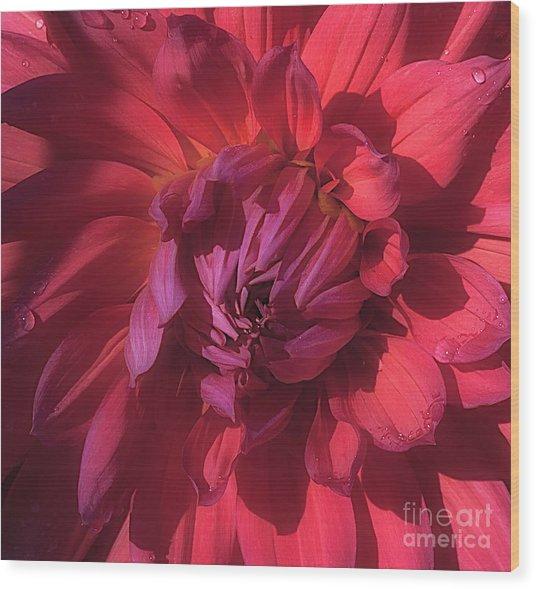 Dahlia 'wyn's King Salmon' Wood Print