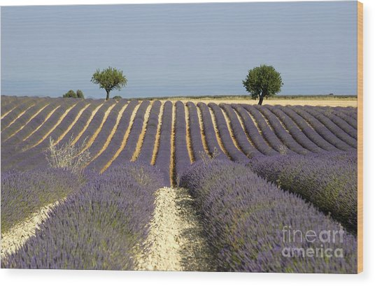 Field Of Lavender. Provence Wood Print