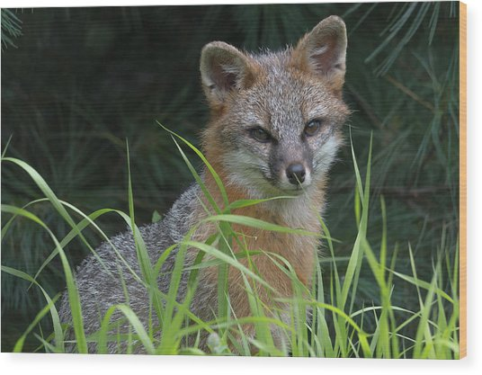 Gray Fox In The Grass Wood Print