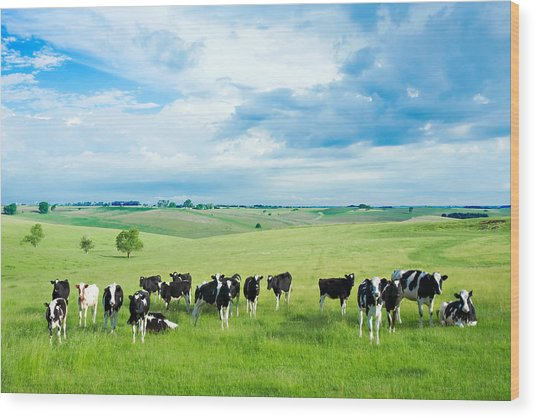 Happy Cows Wood Print