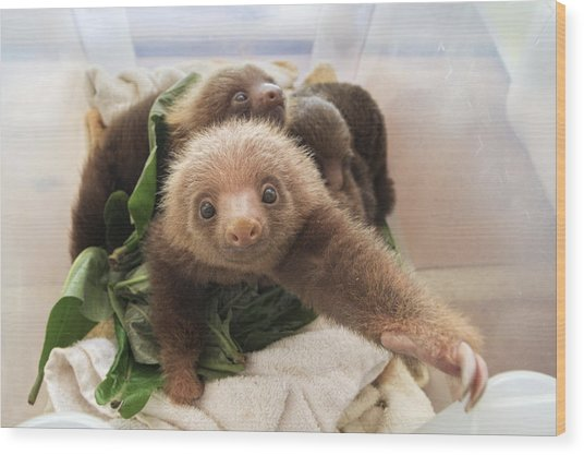 Wood Print featuring the photograph Hoffmanns Two-toed Sloth Choloepus by Suzi Eszterhas