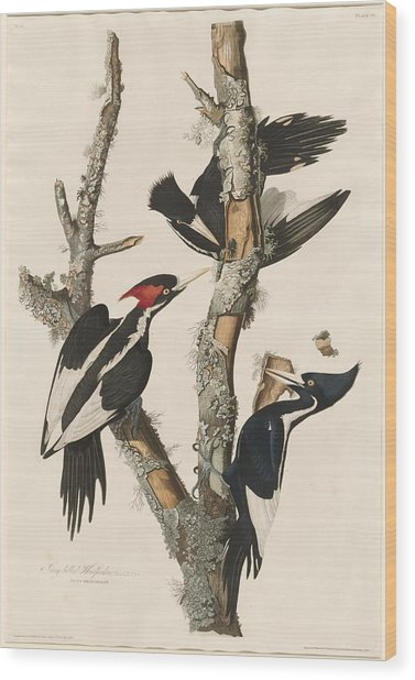 Ivory-billed Woodpecker Wood Print