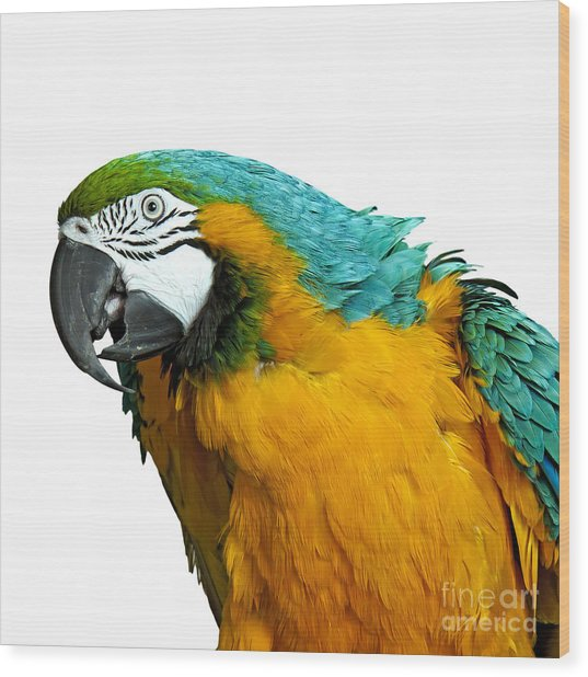 Macaw Bird Wood Print