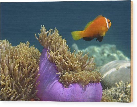 Wood Print featuring the photograph Maledives Clown Fish by Juergen Held