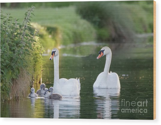 Mute Swan - Cygnus Olor - Adult And Cute Fluffy Baby Cygnets, Swim Wood Print by Paul Farnfield