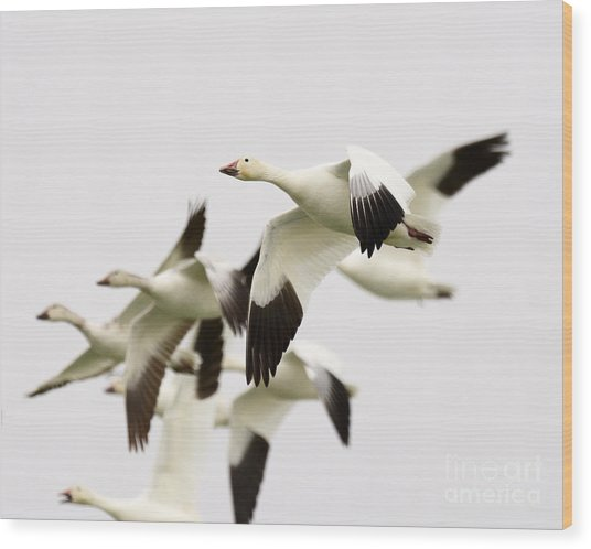 Snow Geese Wood Print by Dennis Hammer