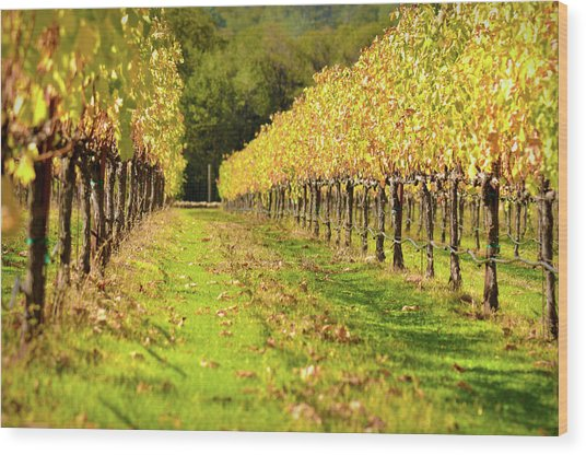Vineyard In The Fall Wood Print
