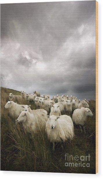 Welsh Lamb Wood Print