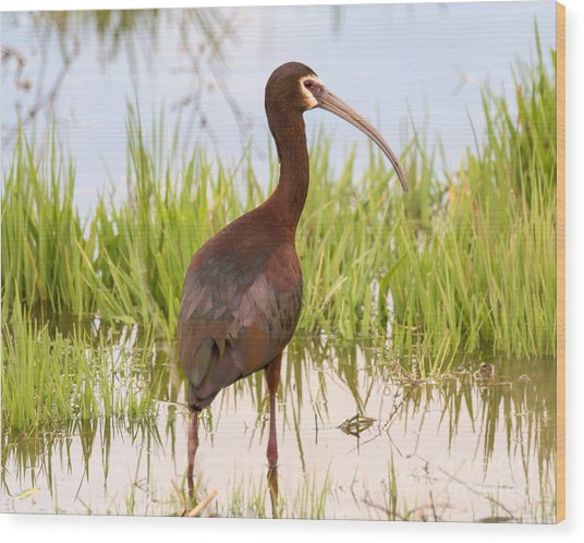 White Faced Ibis Wood Print by Dennis Hammer