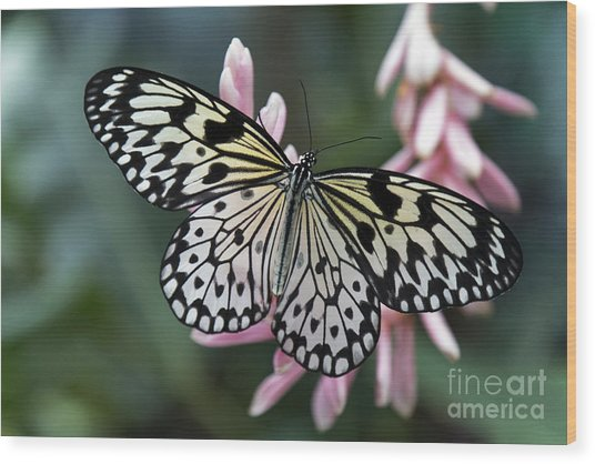 White Tree Nymph Butterfly Wood Print