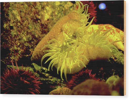 Sea Urchins Wood Print