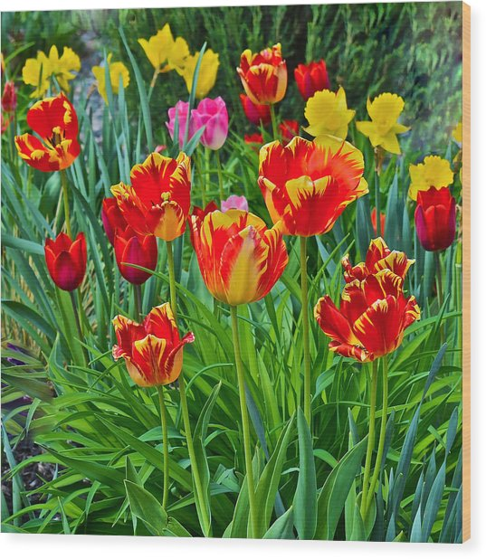 2015 Acewood Tulips 6 Wood Print