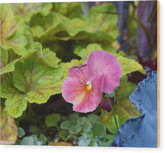 2015 After The Frost At The Garden Pansies 3 Wood Print