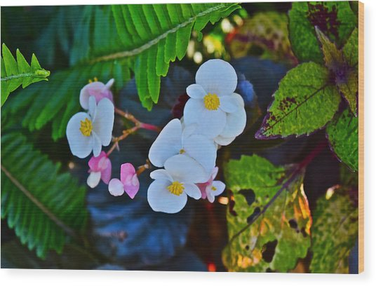 2015 Early September At The Garden Begonias Wood Print