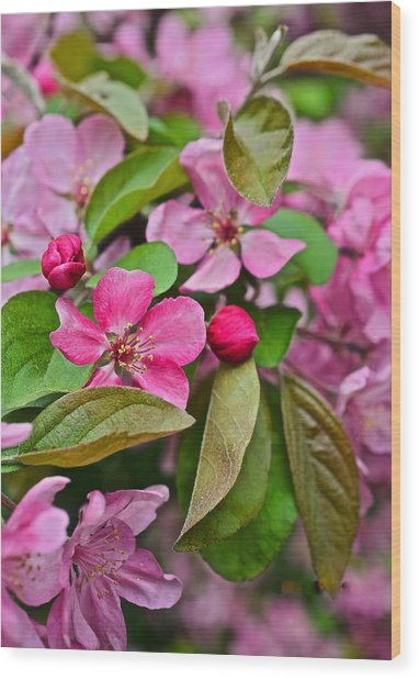 2015 Spring At The Gardens Pink Crabapple Blossoms 2 Wood Print