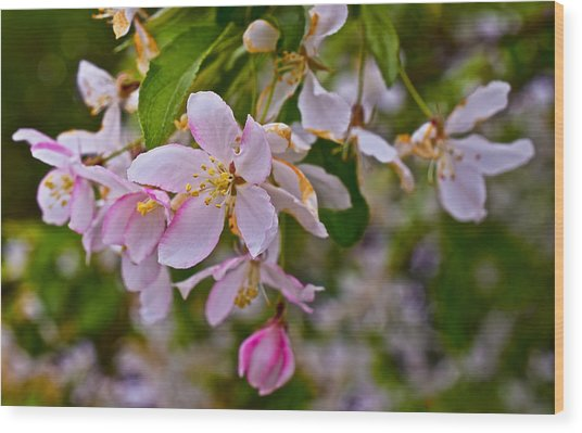 2015 Spring At The Gardens White Crabapple Blossoms 1 Wood Print