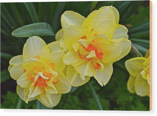 2015 Spring At The Gardens Tango Daffodil Wood Print