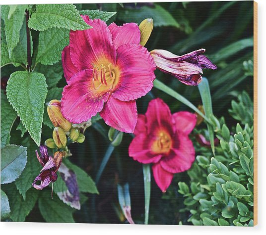 2015 Summer At The Garden Strawberry Candy Daylily 2 Wood Print