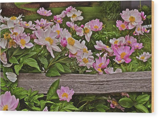 2015 Summer's Eve Front Yard Peonies 1 Wood Print