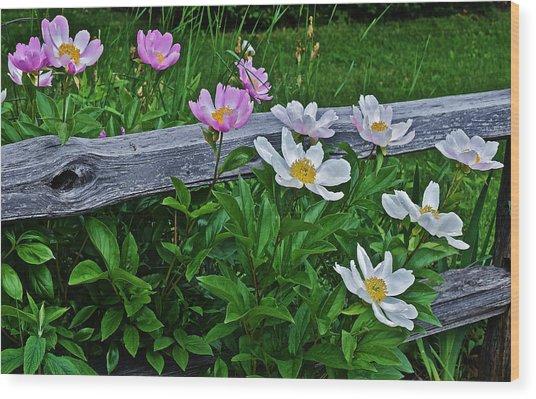 2015 Summer's Eve Neighborhood Garden Front Yard Peonies 2 Wood Print
