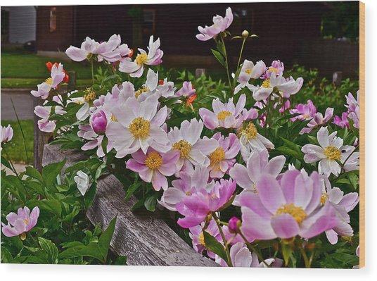 2015 Summer's Eve Neighborhood Garden Front Yard Peonies 4 Wood Print
