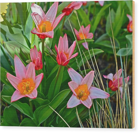 2016 Acewood Tulips 2 Wood Print