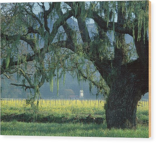 2b6319 Mustard In The Oaks Sonoma Ca Wood Print