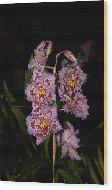 Cattleya Style Orchids Wood Print