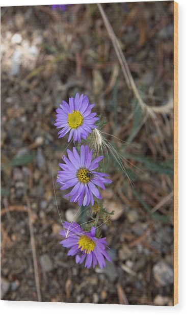 3 Asters 5943 Wood Print